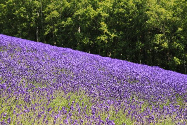 北海道 美瑛のラベンダー畑