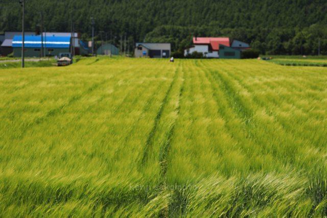 北海道 風になびく麦畑